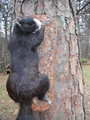 fox squirrel colors north carolina hunting and fishing forums