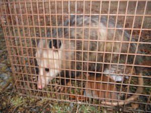 Best bait to attract / trap a possum ?? | Page 2 | North Carolina