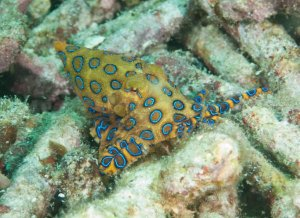 Blue Ring Octopus,  Raja Ampat.jpg